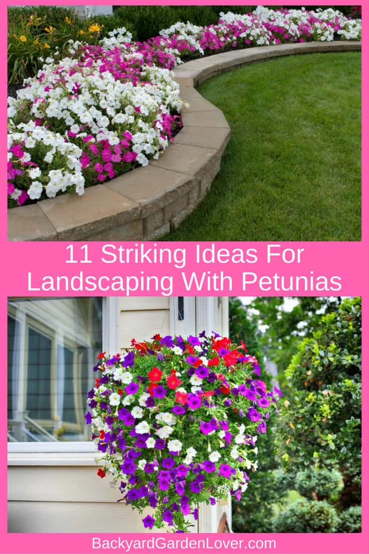 Petunias can add some beautiful color to your landscape. Here are some ideas for landscaping with petunias! #landscaping #flowerlandscaping #petunias