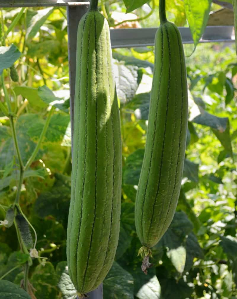 Luffa plant with green fruits ripening under sun