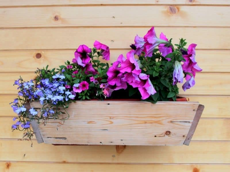 petunia and lobelia in a wooden container