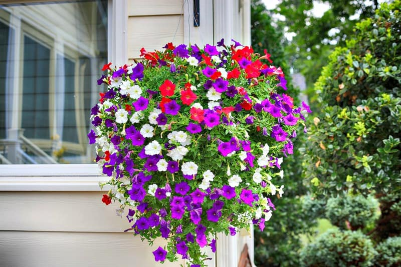 Gorgeous hanging basket with red, white and purple colored petunias