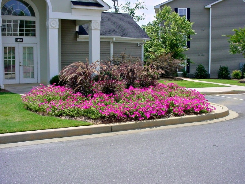 Large area covered with hot pink petunias brightern front house landscape