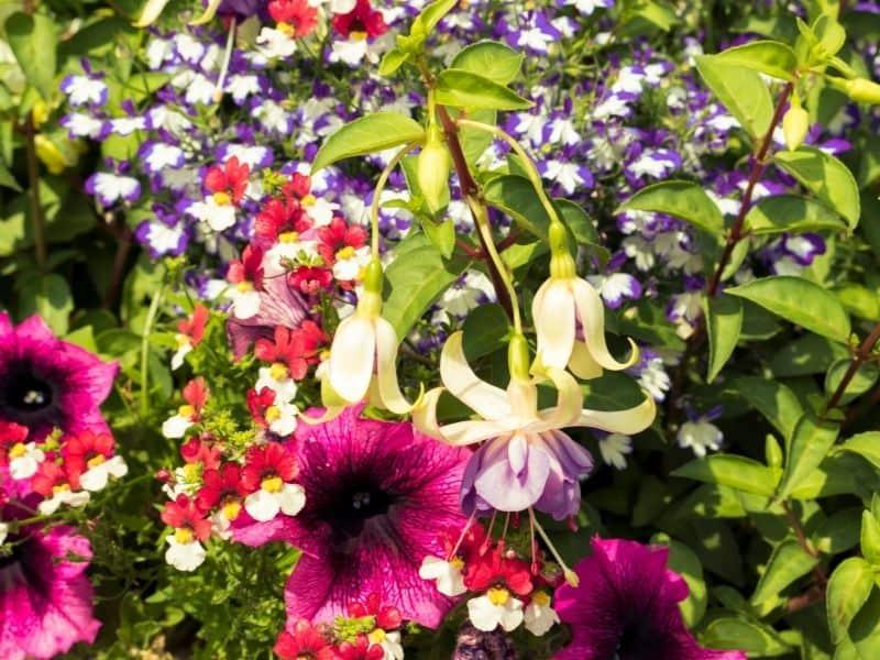 a mixture of petunia, lobelia and fuchsia flowers