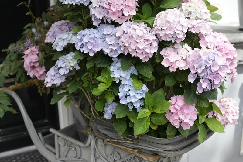 Hydrangea flowers potted in a metal sleigh