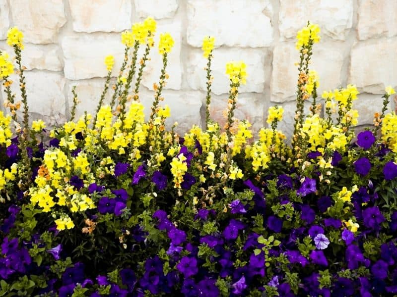 purple petunias in front of bright yellow snapdragons