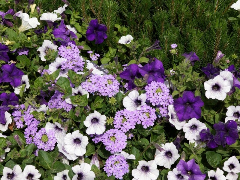 Beautiful summer flowers border in purple shades