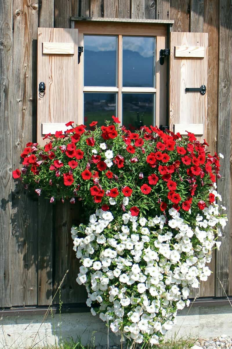 Cascading petunia arragngement in a window box