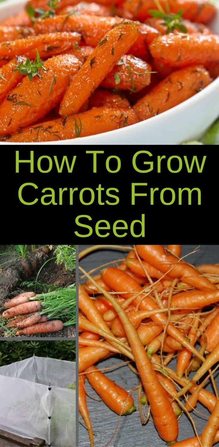 Growing carrots from seed is easy and rewarding. Learn how to prepare the soil, how to sow and how to harvest carrots from your garden. #gardener #organic #harvest #carrots #cleaneating