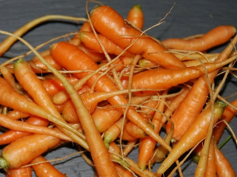 Carrot fingerlings picked while thinning out carrots are delicious in salads.