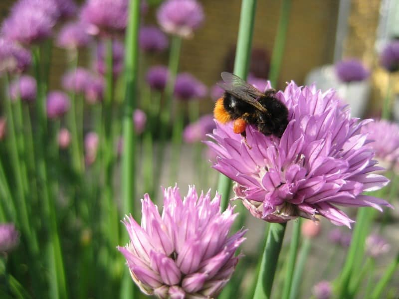 Bee doing its work on my chives