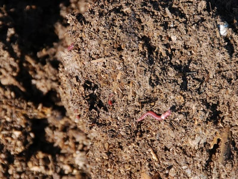 Organic soil with compost worms