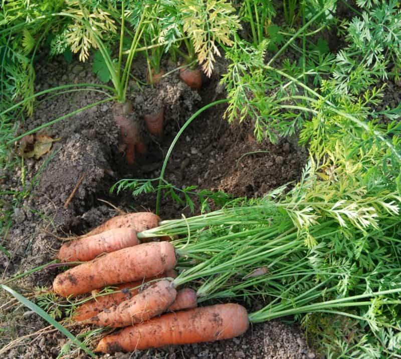a bunch of carrots just pulled out of the ground