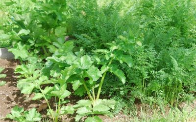 Root vegetables: carrots and parsnips growing in the garden