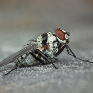 Cabbage root fly