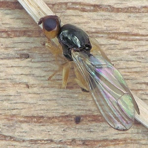 A carrot fly on a wooden surface
