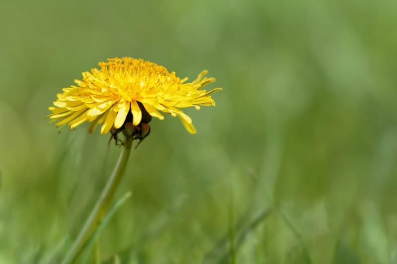 Dandelion, one of the most common garden weeds.