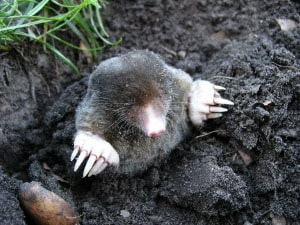 A baby mole coming out of the ground