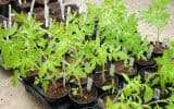 Tomato seedlings ready to be transplanted into the garden