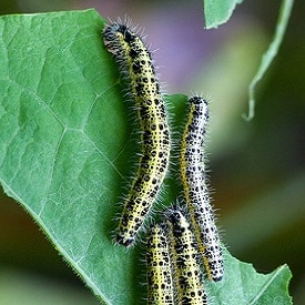 White cabbage butterfly caterpilars