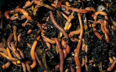 Tiger worms in the composter