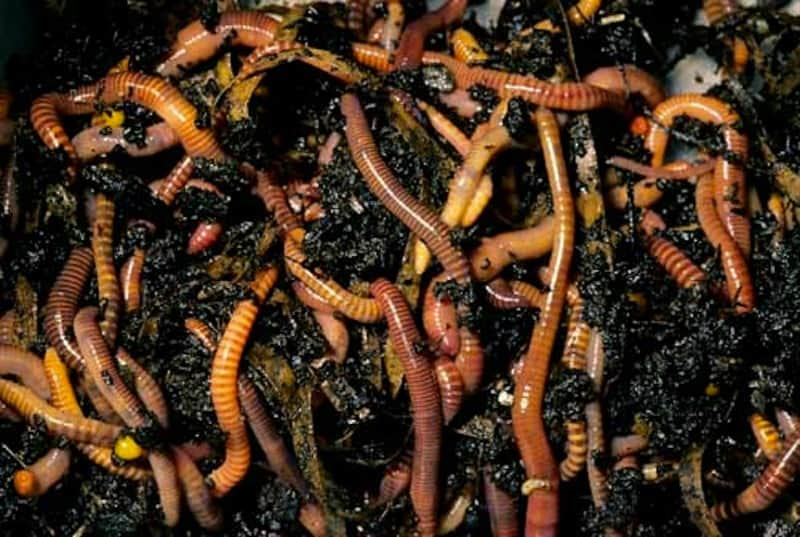 Composting Tiger worms hard at work