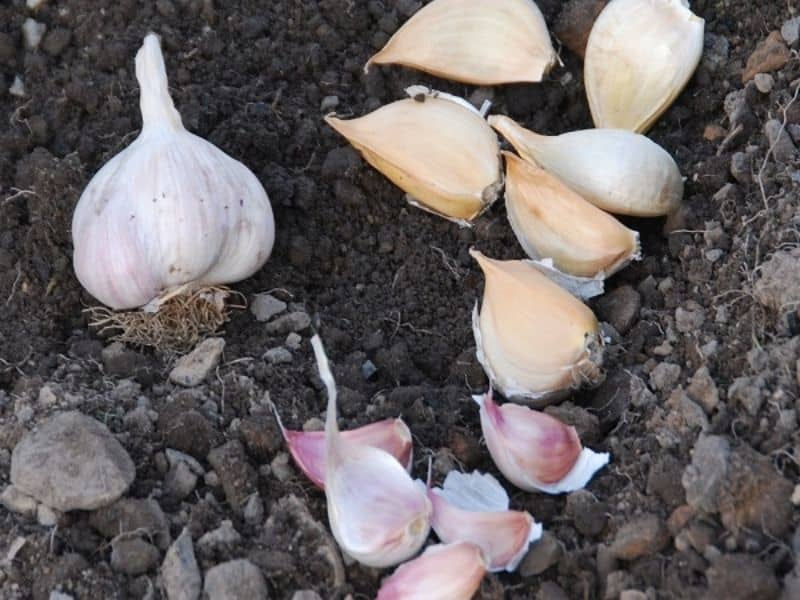 garlic ready to plant