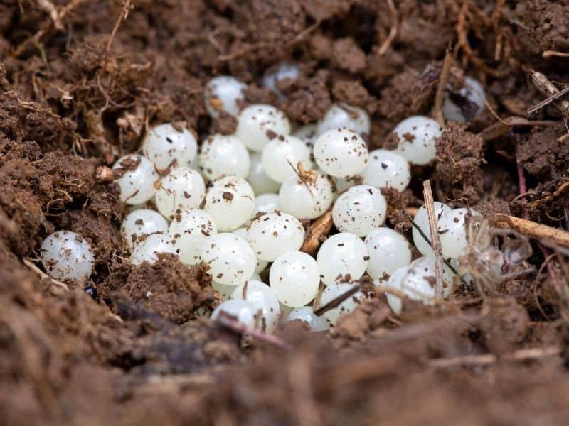 slug eggs