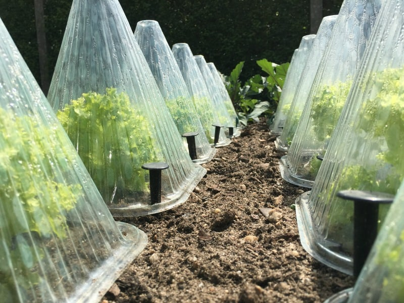 Endives under plastic domes protected in the winter garden