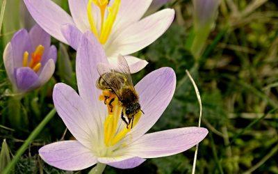 Bee feeding on a crocus flower