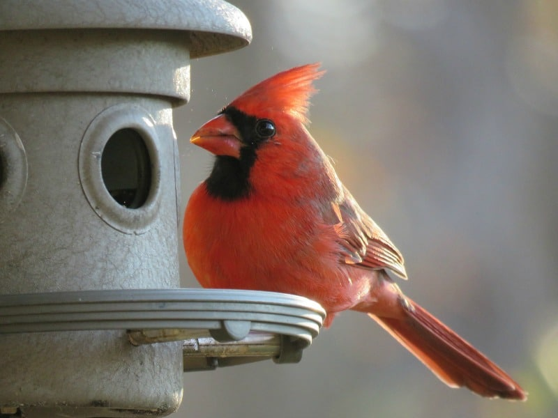 Cardinal perched on feeder