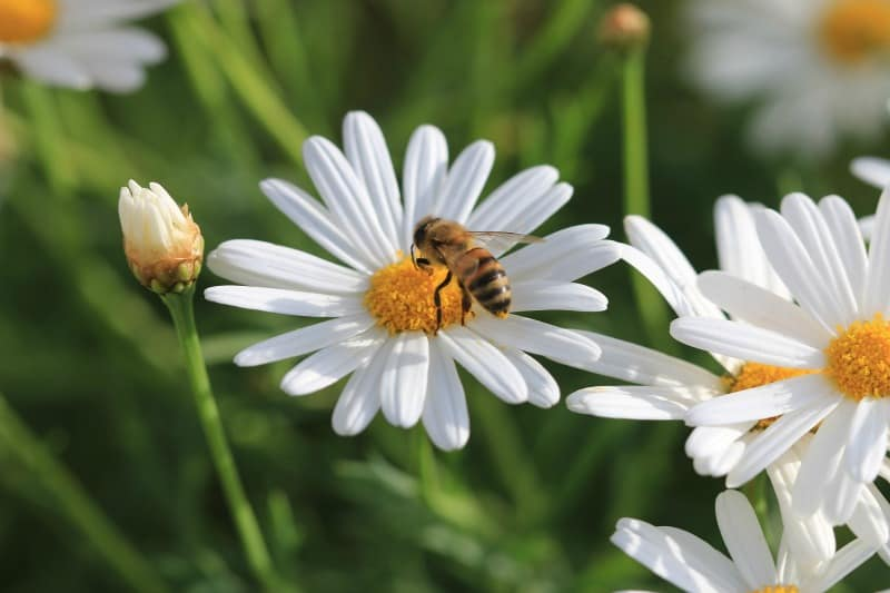 Bee enjoying a white daisy