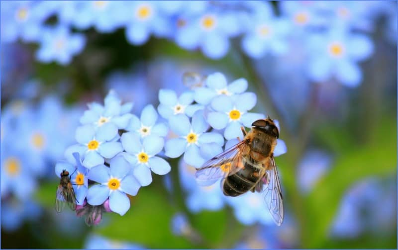 Honey bee on forget me not flowers