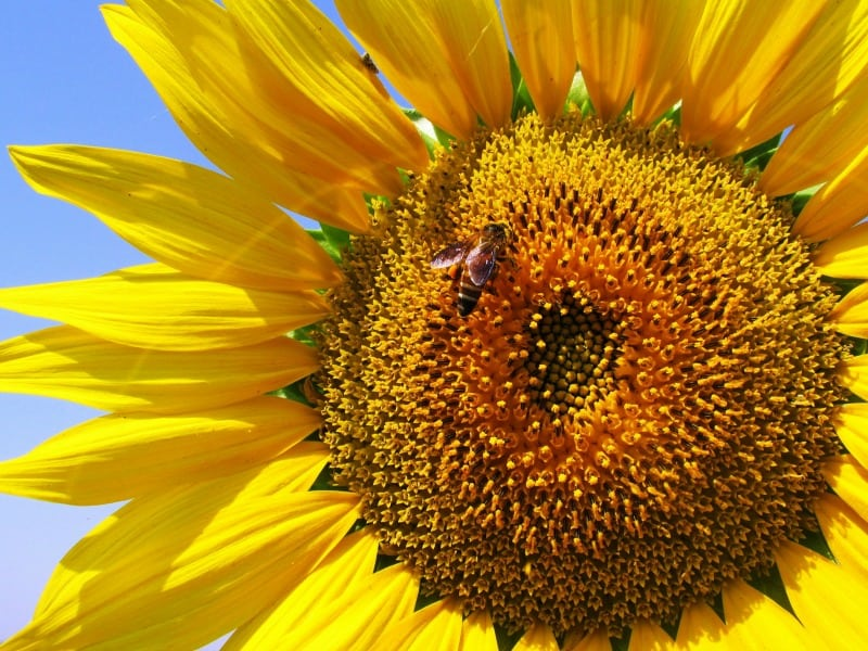 Honey bee feasting on sunflowers
