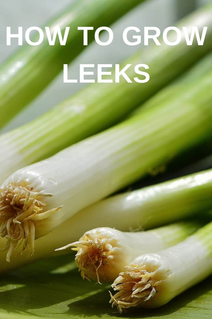 How to grow leeks in your garden