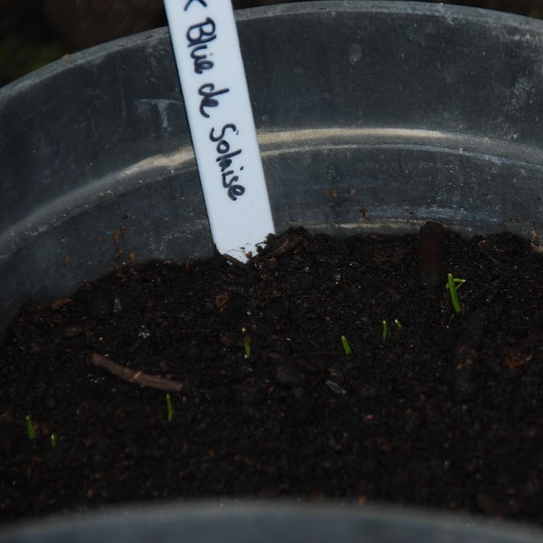 Leeks germinating in a pot