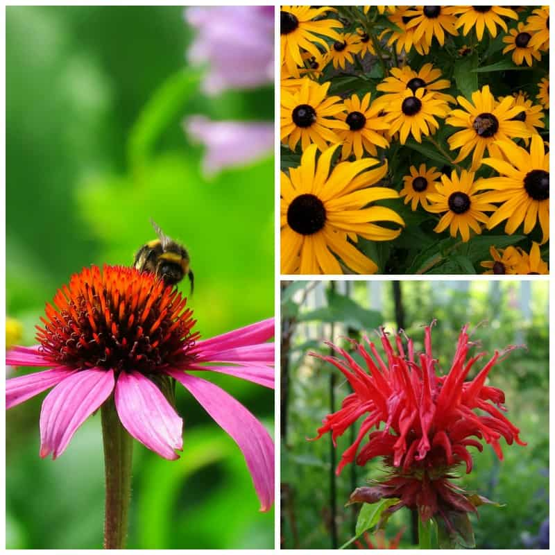 Native plants for bees: echinacea, monarda, black eye susan