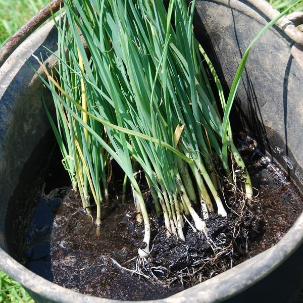 Soaking young leeks in a bucket of water to untangle their roots to plant in the garden