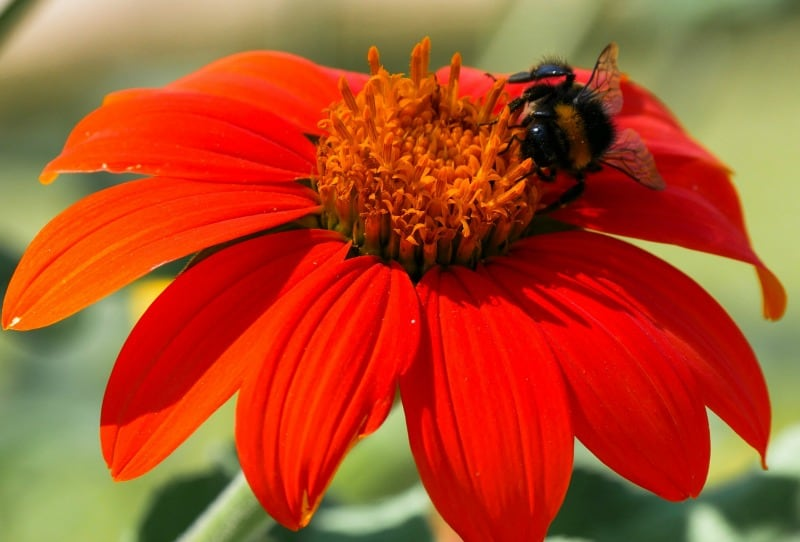 Vibrantly colored zinnia and bee