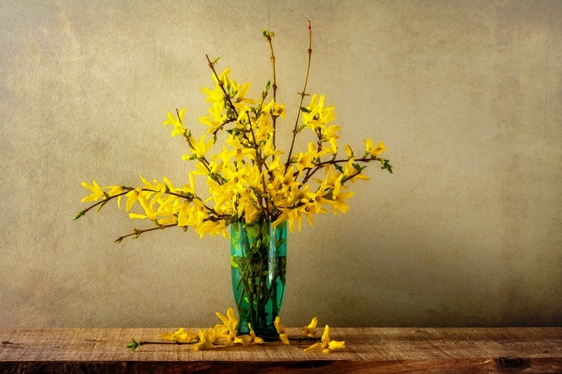 Brilliant yellow forsythia bloms in a green vase