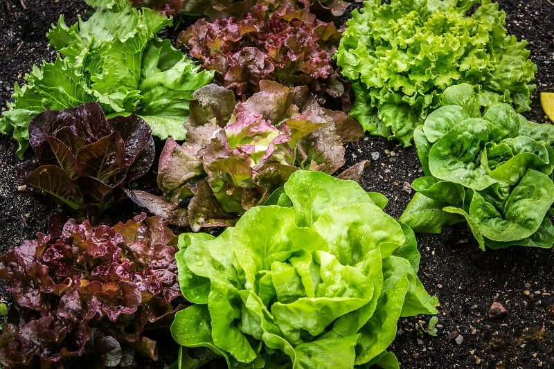 Multiple types of lettuce growing in the garden