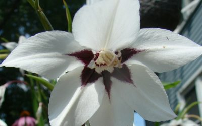 Beautiful peacock orchid, a white flower with reddish-purple markings and a delicate fragrance