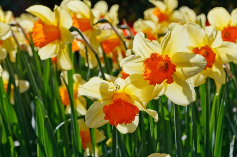 Yellow daffodils with orange centers