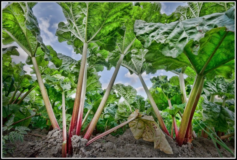 Rhubarb growing in my garden