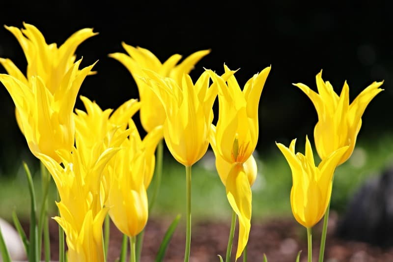 Yellow lily flowered tulips