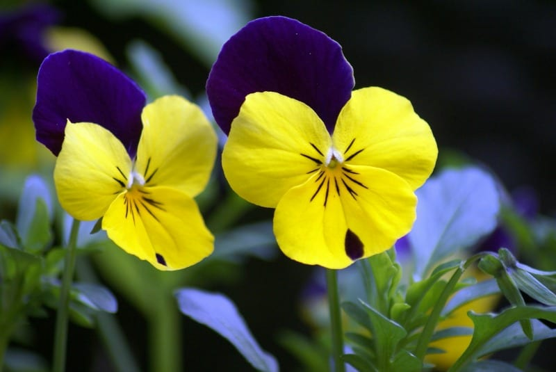 Yellow and purple pansies
