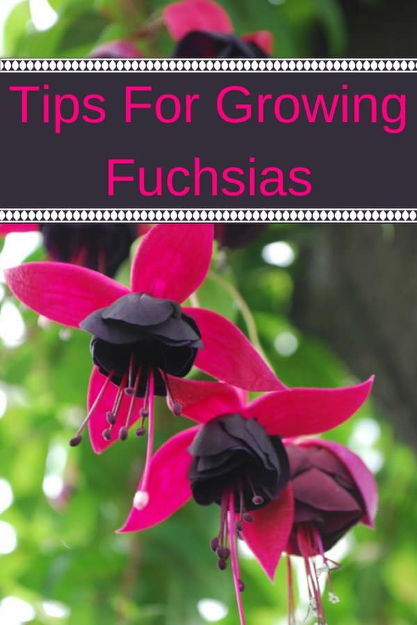 Growing fuchsia plants brings a lot of happiness to my garden. Perfect for hanging baskets, fuchsias come in lots of vibrant colors. Fuchsia plants are easy to care for and will bloom all summer long . Learn how to grow fuchsia flowers and shrubs and add color and romance to your garden.