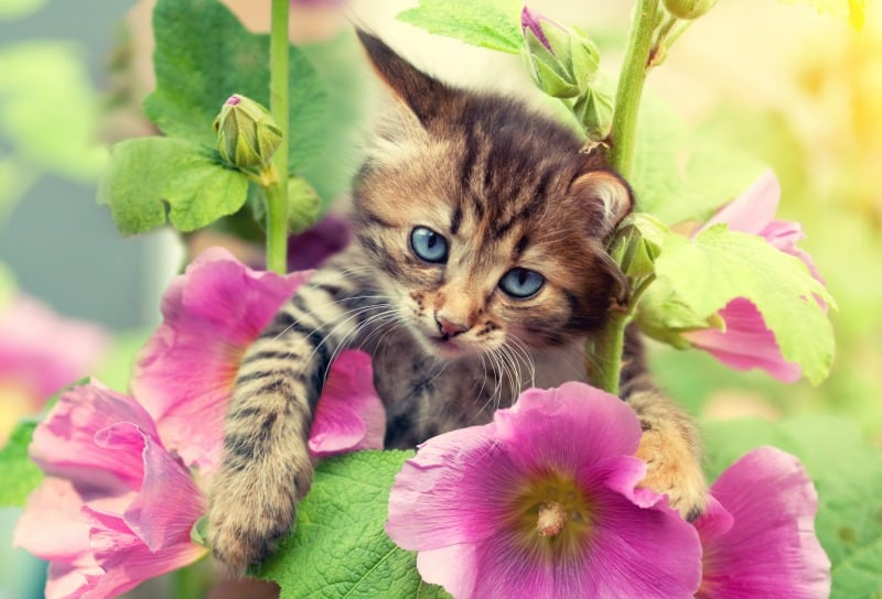 Gorgeous kitten in the garden with mallow flowers