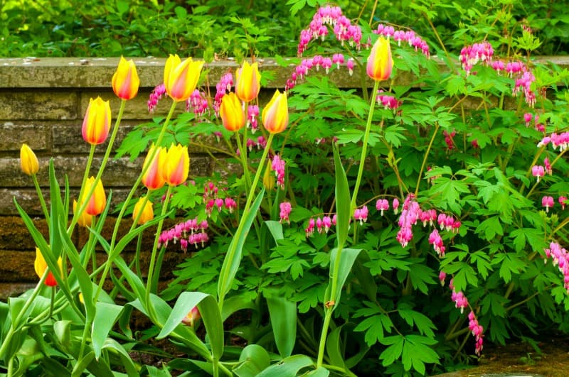 A pretty cluster of Blushing Beauty tulips and bleeding hearts growing in front of a low stone wall