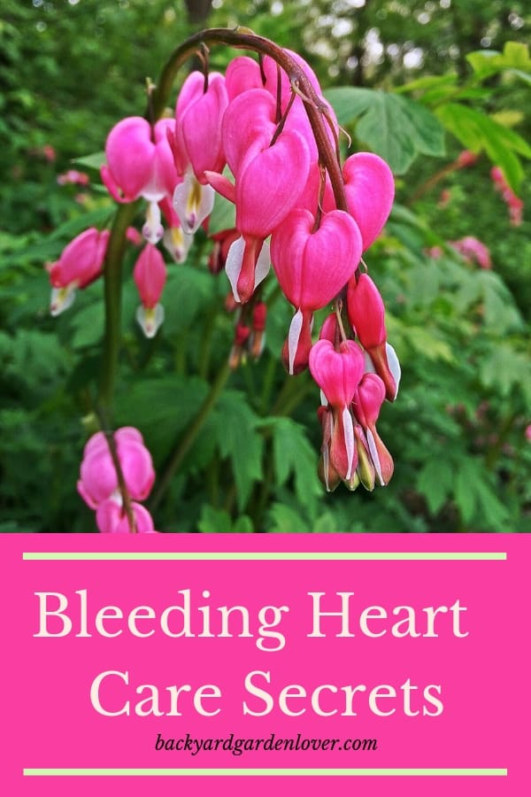 Add some beautiful bleeding heart flowers to your landscape or some hanging baskets on your porch. They are easy to care for, and GORGEOUS! Also, learn the meaning of the delicate pink and white flowers. #bleedingheartflowers #hangingbaskets #landscaping #pinkflowers #flowersmeaning #bleedingheart #delicateflowers
