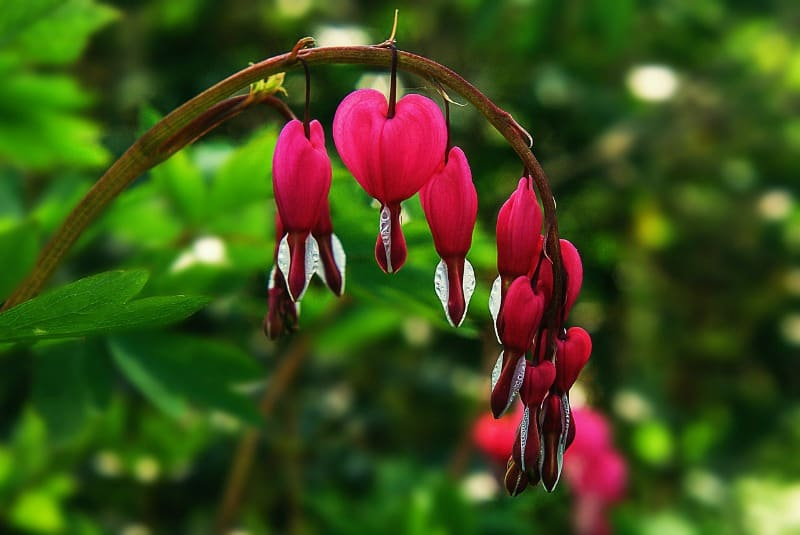 Bleeding hearts flowers - learn these bleeding heart plant care secrets for gorgeous flowers in your garden.