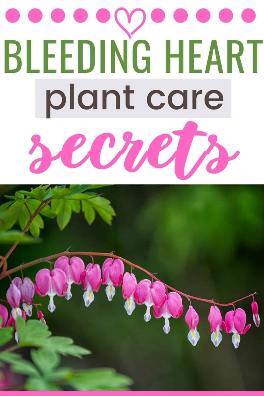 Bleeding heart plant care secrets